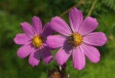 Flores púrpuras del cosmos con la abeja Imagen de archivo