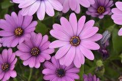 Flores púrpuras del dimorphotheca Imagenes de archivo