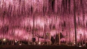 Flores púrpuras del enrejado de la glicinia fotos de archivo