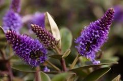 Flores púrpuras del hebe Fotos de archivo libres de regalías