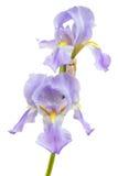 Flores púrpuras del iris en el fondo blanco Foto de archivo libre de regalías
