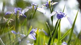 Flores púrpuras del iris japonés Imagenes de archivo