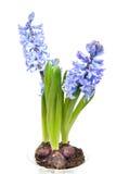 Flores púrpuras del jacinto en primer Fotos de archivo