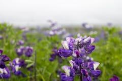 Flores púrpuras del lupine en Islandia Fotos de archivo