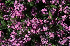 Flores púrpuras del Myosotis Sylvatica de la nomeolvides del arbolado Fotografía de archivo