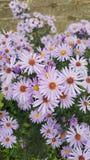 Flores púrpuras del otoño Foto de archivo libre de regalías