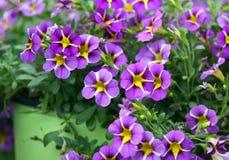 Flores púrpuras del pensamiento Imagen de archivo libre de regalías