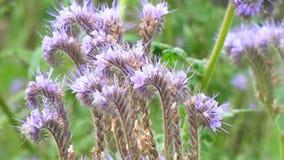 Flores púrpuras del phacelia almacen de video