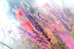 Flores púrpuras del prado floreciente en hierba Fotografía de archivo libre de regalías