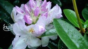 Flores púrpuras del rododendro en el jardín Fotos de archivo libres de regalías