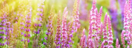Flores púrpuras del sabio en fondo del campo de flor Imagenes de archivo