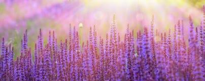 Flores púrpuras del salvia en fondo del campo de flor Fotografía de archivo libre de regalías