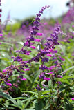Flores púrpuras del salvia en naturaleza Imagen de archivo libre de regalías