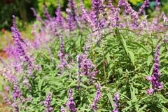 Flores púrpuras del salvia en naturaleza Imágenes de archivo libres de regalías