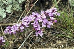 Flores púrpuras del tomillo crimeas Imágenes de archivo libres de regalías