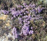 Flores púrpuras del tomillo crimeas Imagen de archivo libre de regalías
