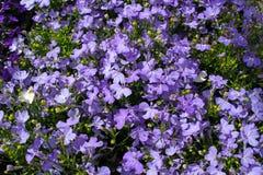 Flores púrpuras del zafiro del Lobelia que se arrastran, Lobelia Erinus 'zafiro ' También llamó a Edging Lobelia, Lobelia del jar imagen de archivo