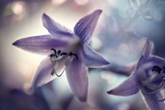 Flores púrpuras delicadas del hosta fotografía de archivo