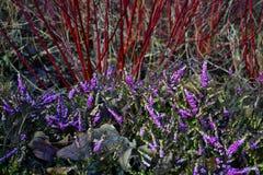 Flores púrpuras delicados con los tallos rojos arbolados fotografía de archivo libre de regalías
