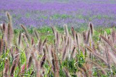 Flores púrpuras e hierba amarga del fleabane Imagen de archivo