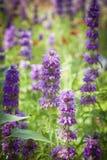Flores púrpuras en campo Fotografía de archivo