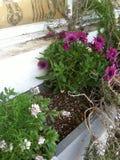 Flores púrpuras en el alféizar Imagenes de archivo