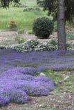 Flores púrpuras en el césped Imagen de archivo libre de regalías