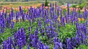 Flores púrpuras en el jardín Foto de archivo libre de regalías