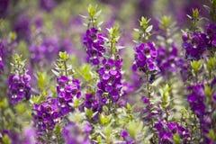 Flores púrpuras en el jardín Imagen de archivo