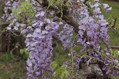 Flores púrpuras en el país de la colina de Tejas Imagen de archivo