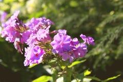 Flores púrpuras en fondo borroso brillante Foto de archivo libre de regalías