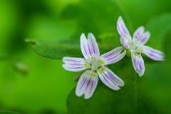 Flores púrpuras en Hoh Rainforest Foto de archivo libre de regalías