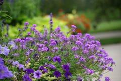 Flores púrpuras en jardín imagenes de archivo
