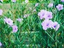 Flores púrpuras en jardín Fotografía de archivo libre de regalías