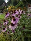 Flores púrpuras en jardín inglés Fotografía de archivo libre de regalías