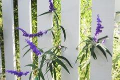 Flores púrpuras en la cerca de piquete fotografía de archivo