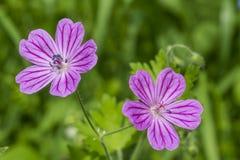 Flores púrpuras en la hierba Foto de archivo libre de regalías