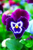 Flores púrpuras en la naturaleza Foto de archivo