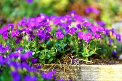 Flores púrpuras en paso de madera de la escalera imágenes de archivo libres de regalías
