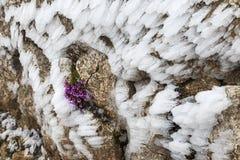 Flores púrpuras en roca helada imágenes de archivo libres de regalías