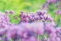 Flores púrpuras en Sunny Day The Meadow Fotos de archivo libres de regalías
