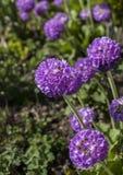 Flores púrpuras en un día soleado Fotografía de archivo