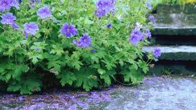 Flores púrpuras en un fondo verde alrededor de la trayectoria Fotografía de archivo libre de regalías