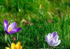Flores púrpuras excéntricas del azafrán en la floración fotografía de archivo libre de regalías