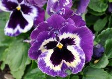 Flores púrpuras florecientes fotos de archivo
