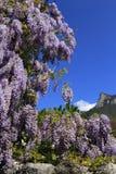 Flores púrpuras florecientes de la glicinia Fotografía de archivo libre de regalías