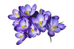 Flores del azafrán fotografía de archivo