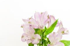 Flores púrpuras frescas de la fresia aisladas en el fondo blanco fotos de archivo libres de regalías