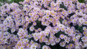 Flores púrpuras hermosas Imagenes de archivo