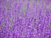 Flores púrpuras hermosas Foto de archivo libre de regalías